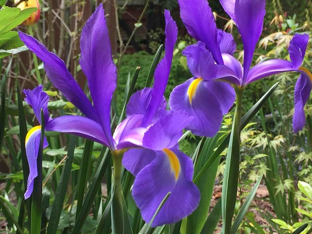 ...Dutch iris ...
