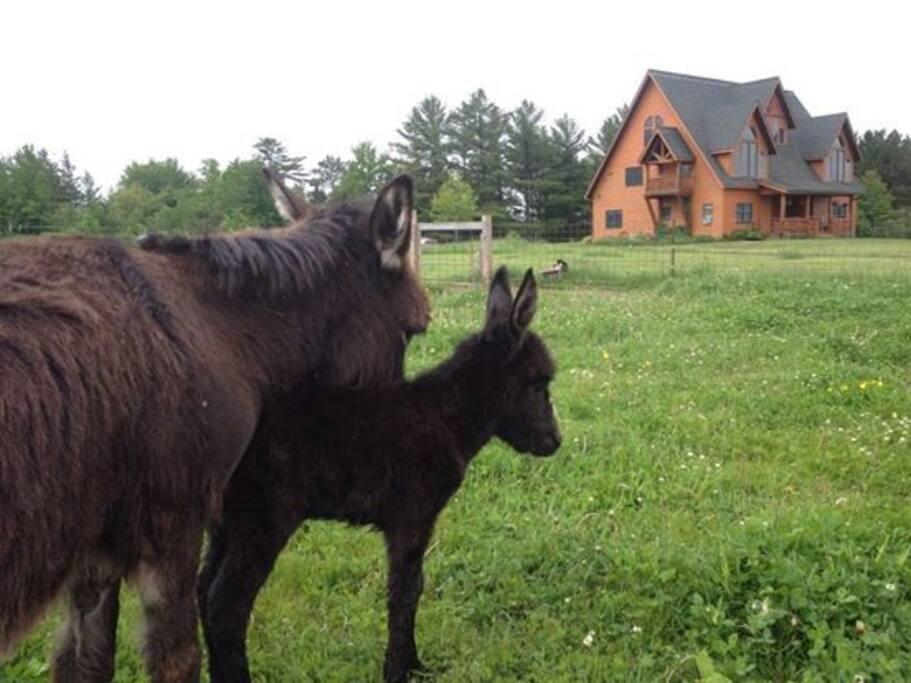 A newborn donkey...