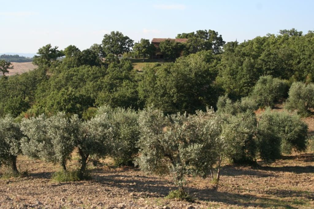 Podere Santa Pia, hidden between olive and oak trees. A beautiful view on this holiday resort and its grounds opens up.