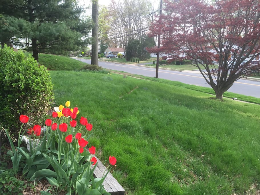 Tulips welcome the new guest in the Spring and the early Summer