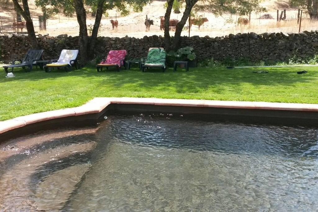 La piscina, detrás las vacas. .....