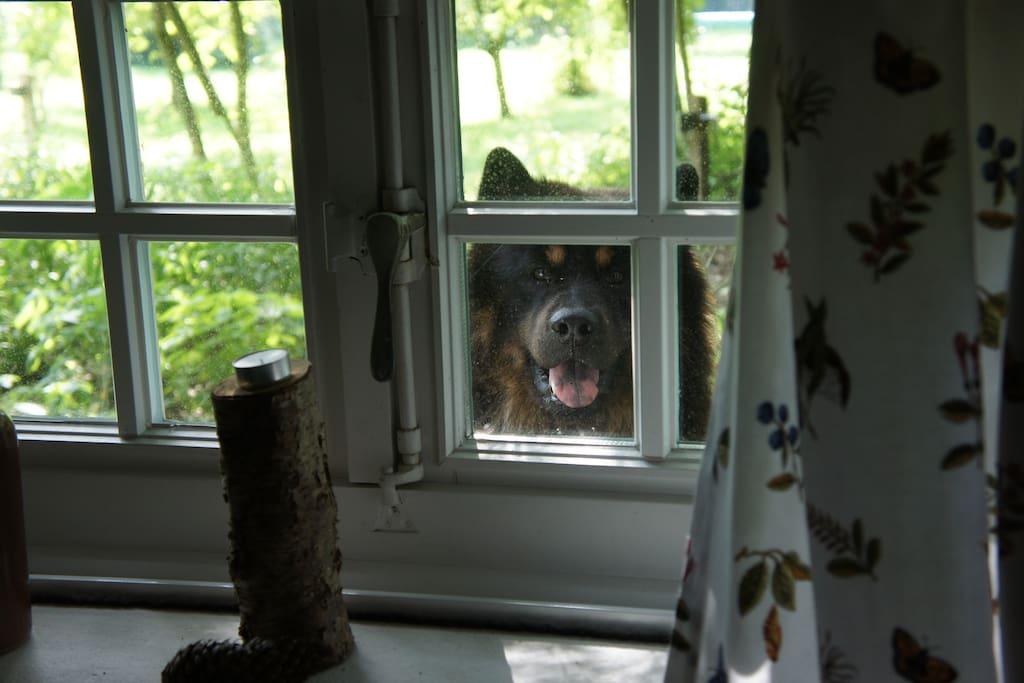 Hofhund Arthus