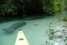 Manatees love the crystal clear water!