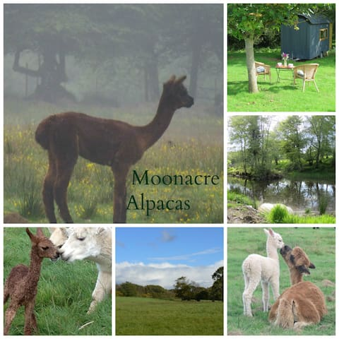Moonacre Alpacas - our caravan - Dolton