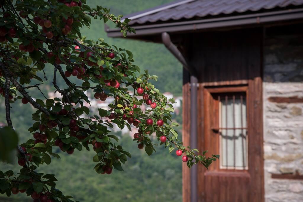 Dogwood berries  (Aug. 2015)