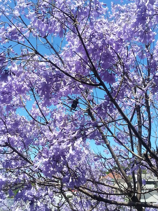 View of the Jacaranda trees surrounding the apartment during spring time