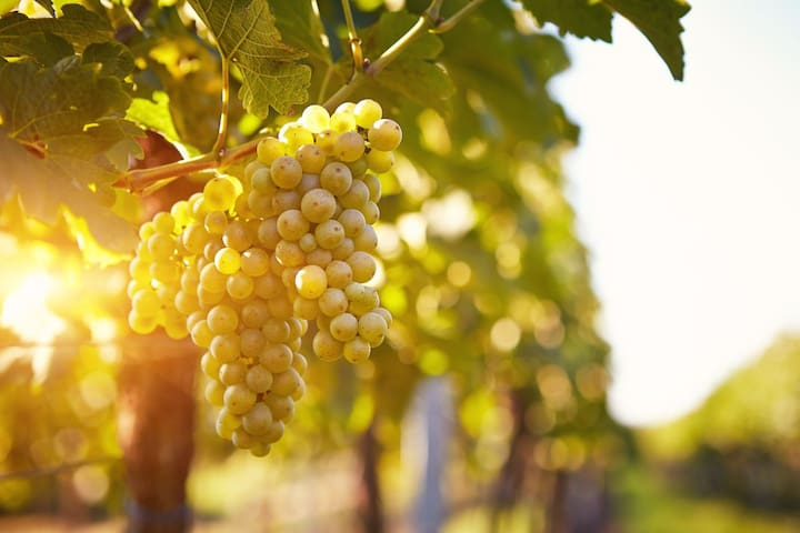 Those Golden Autumn Days When The Grapes Are Ready For Harvesting