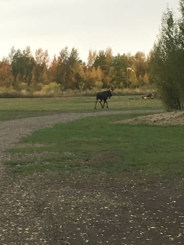 A moose is headed towards a 12 acre camping lot and forest