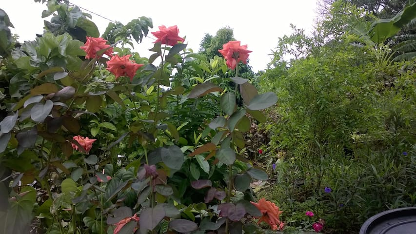 Roses in the back-yard