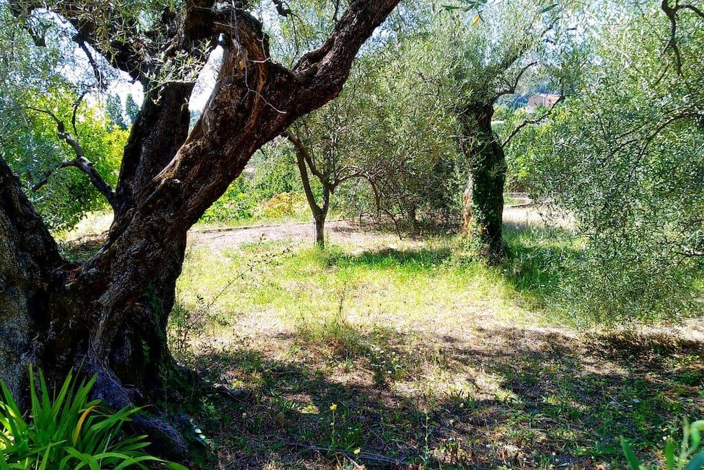 Vue sur les oliviers centenaires de la propriété