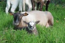 Een ooi met haar lammetje
