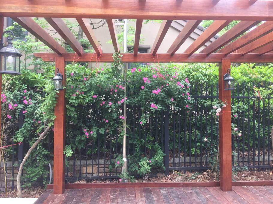 盛开的蔷薇,旁边还有紫藤,希望明年可以爬满藤架