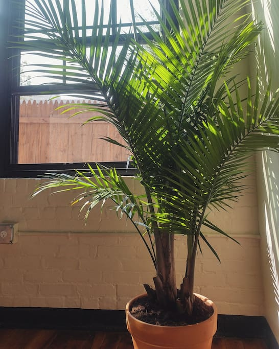 fresh palm stretching five feet high