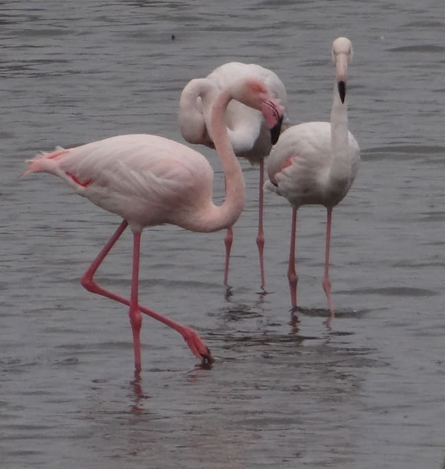 Flamingoes in winter time.