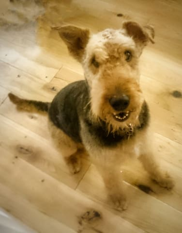 Our friendly Airedale 'Effie'