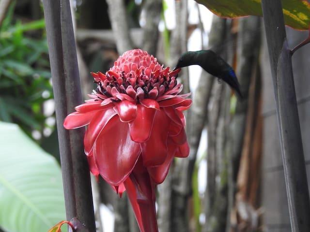 Rose de porcelaine à la maison avec son joli colibri.