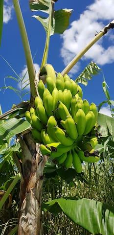 Les bananes du jardin.