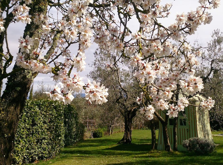 Spring is here! Almond trees at Altipertoli are blooming and early bees are here!