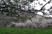 manzanos en flor por abril y mayo