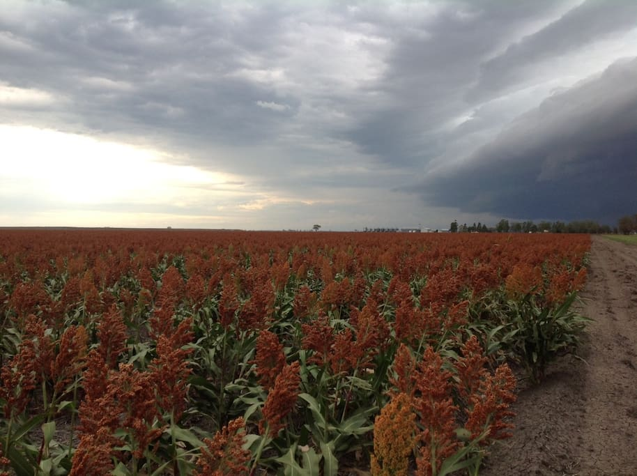 This sorghum crop is typical of what you'll see close to Dalby