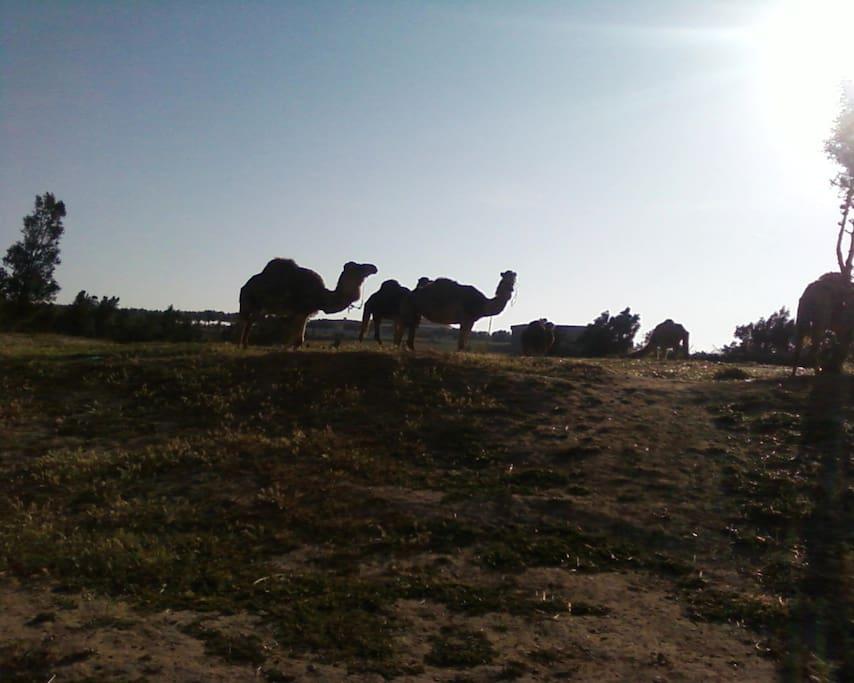 Vue sur la colline avec les chameaux du Centre de Randonné a dos de chameaux , de cheval ou en calèche du voisinage