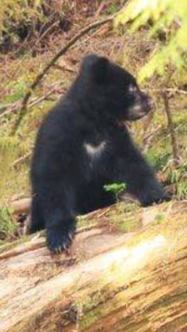 Baby bear from the herring cove viewing area
