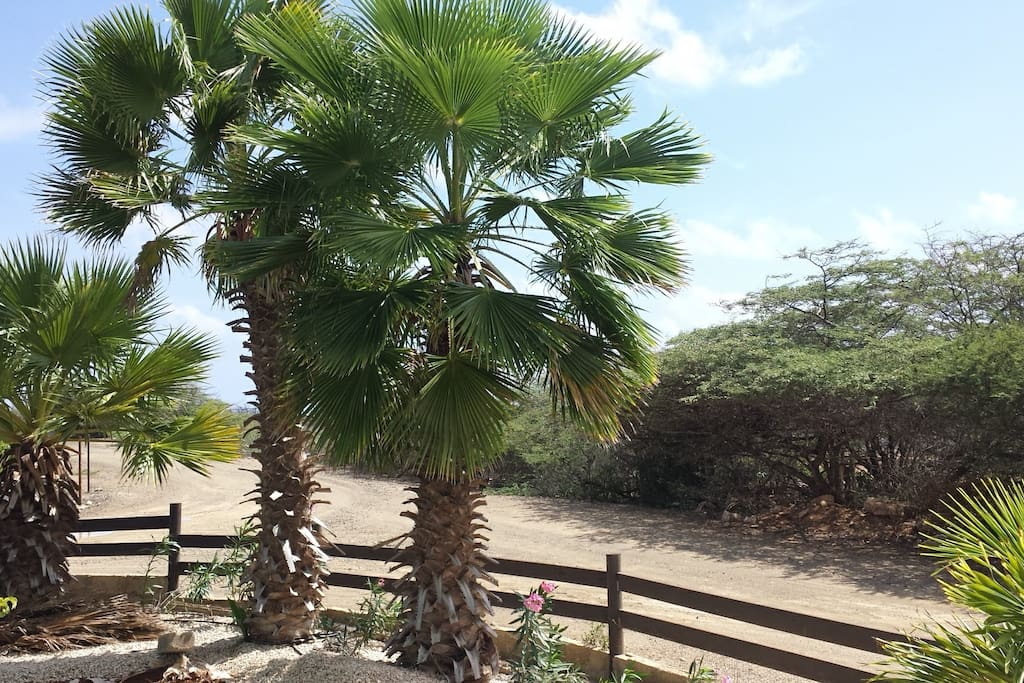 Big palm trees for shaded seating in yard
