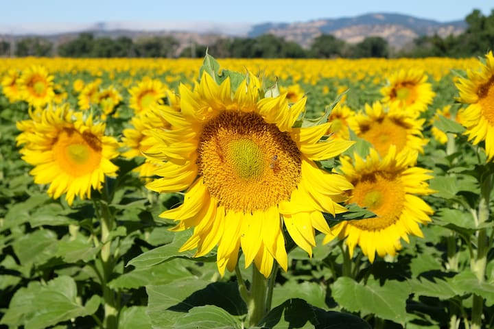 To see the the beautiful sunflowers!