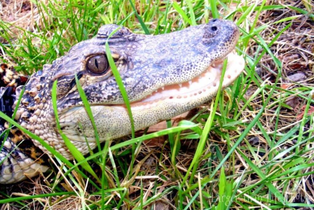 Mama Odie, one of 2 inhouse Alligators.