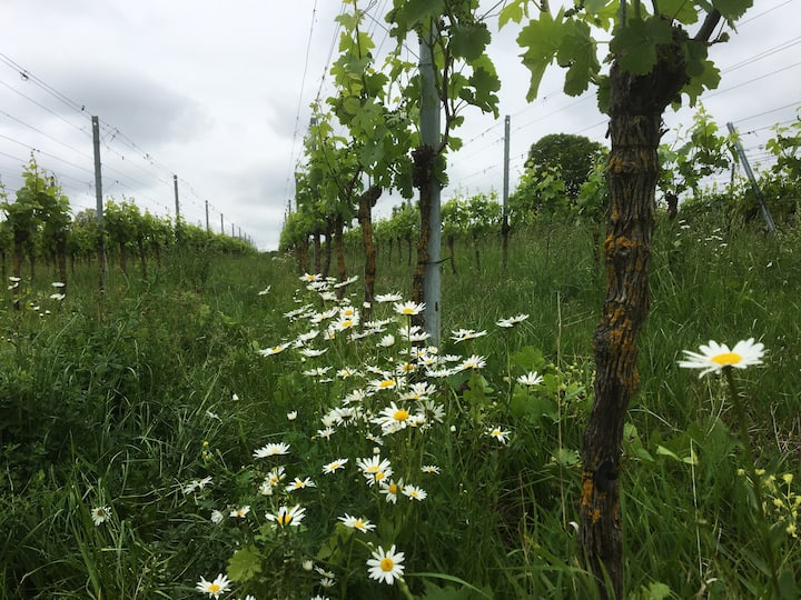 The vineyard in spring