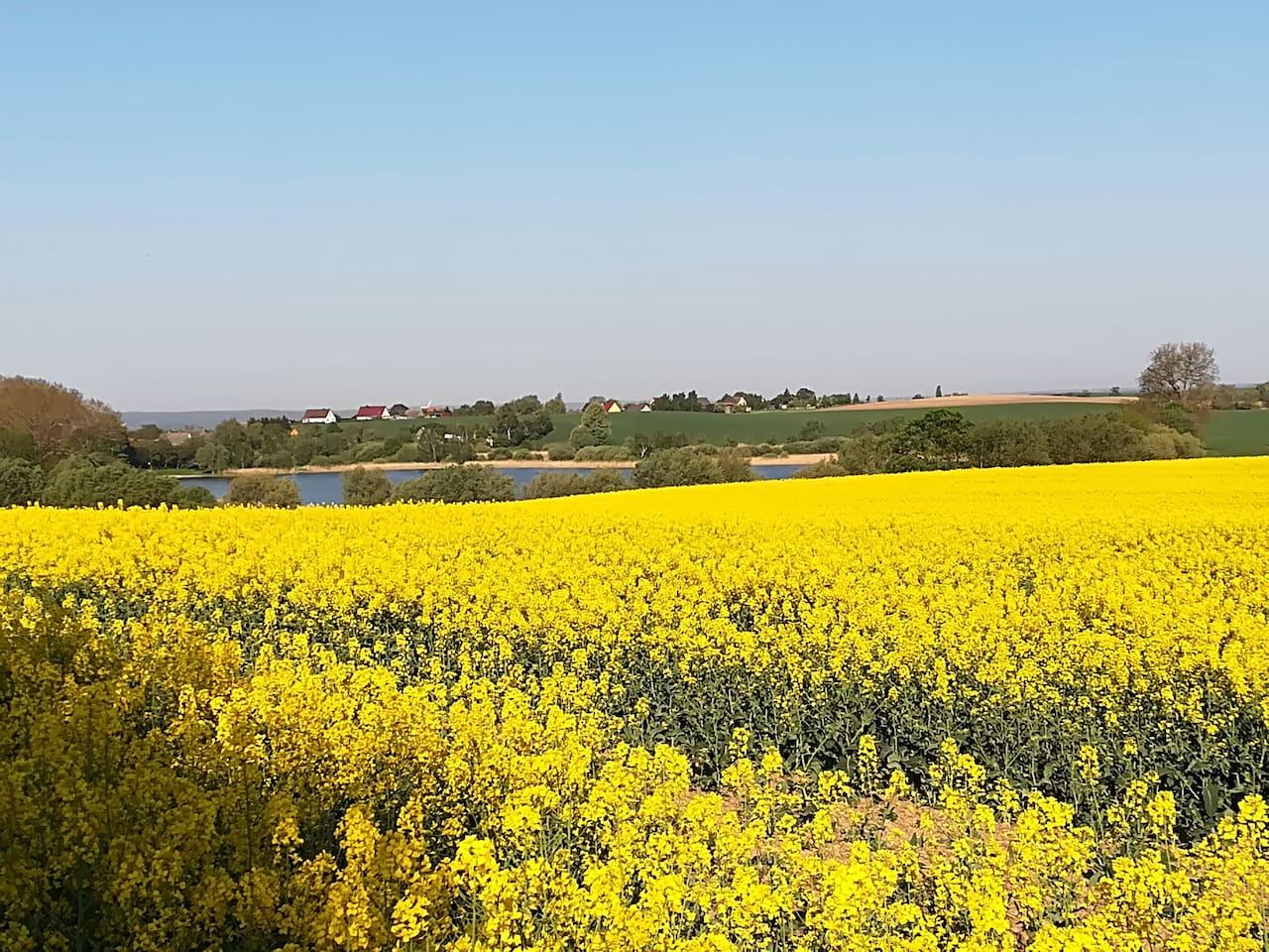 Die Uckermark im Mai - Rapsblüte