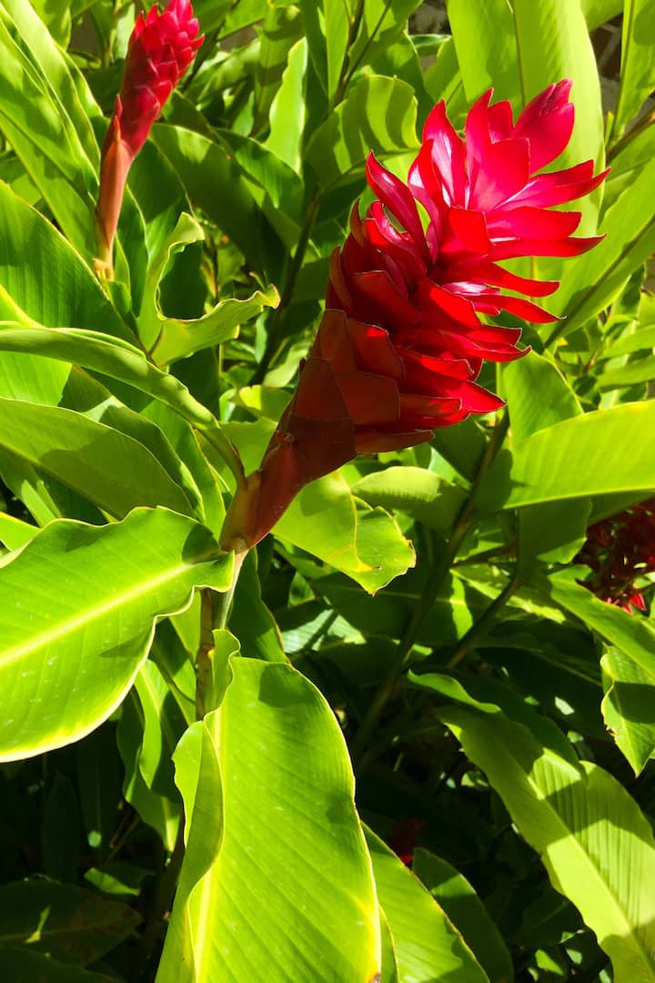 Stop and smell the flowers... Red Ginger