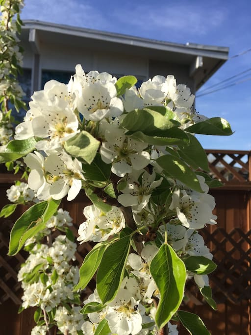 Pear blossoms in our backyard.