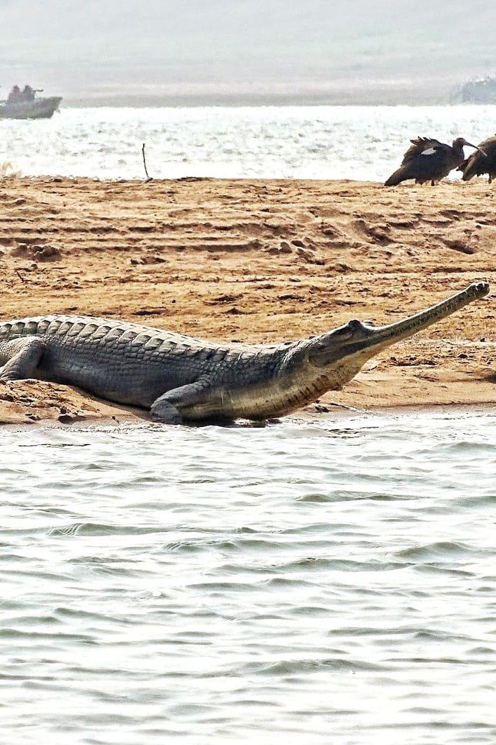 Female gharial