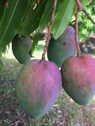 El mango