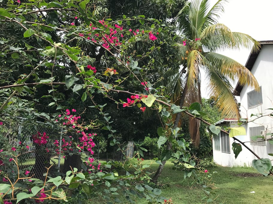 Walk around the other side of the house with its many trees - coconut, mango, soursop, lime trees.