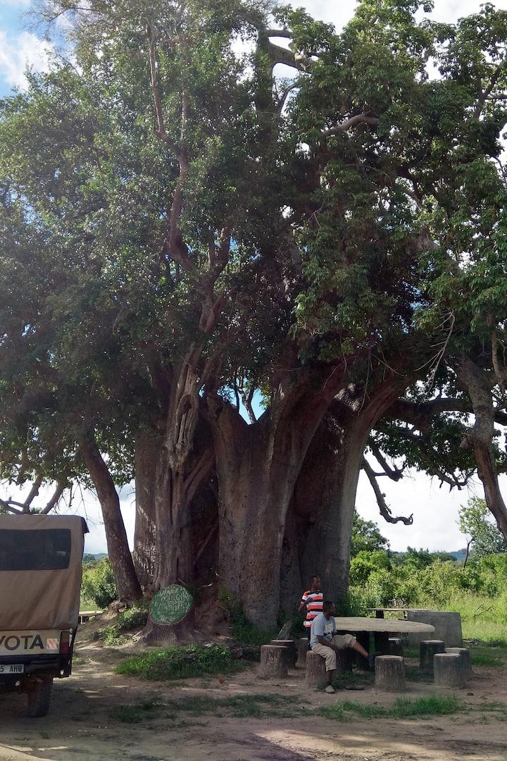 250+ years old Baobab tree