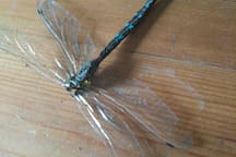 So this turned up I  the garden today and that's why we're called dragonflies. Sadly this one has passed on to dragonfly heaven but many more visit.