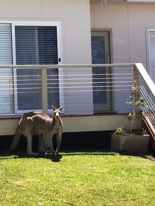 Kangaroos love our grass