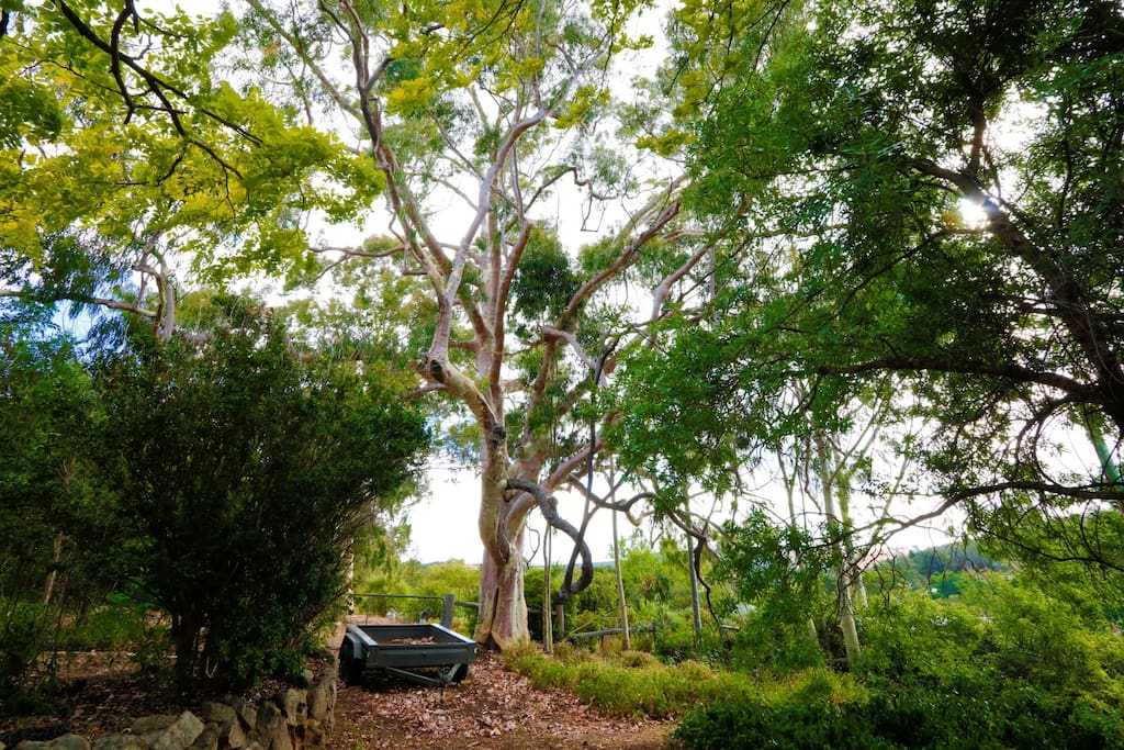The large Lemon-scented Gum