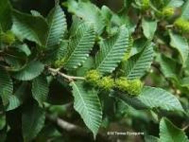 Rauli es un árbol endémico de Chile.