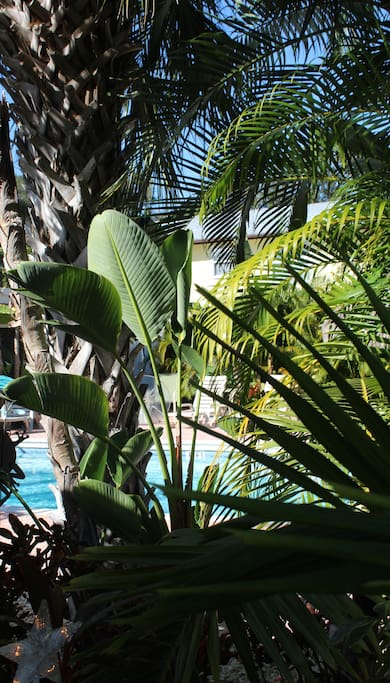 View through the palms of the heated pool.