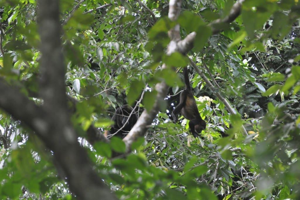 Wildlife--monkeys, birds, butterflies seen from the pool.