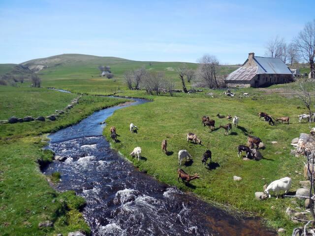 Troupeau de Teddy, fromage de chèvres à Jassy (St Alyre)