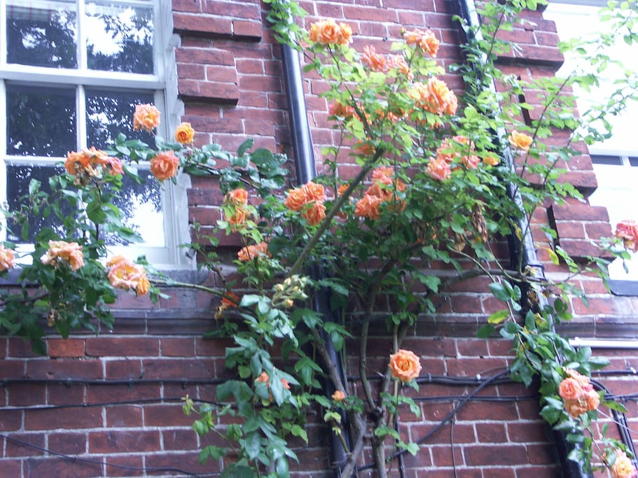 Roses outside bedroom window