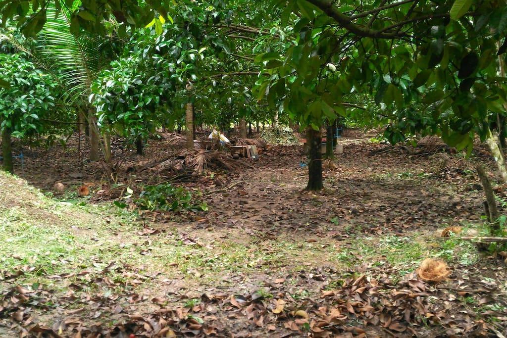 Mangosteen garden