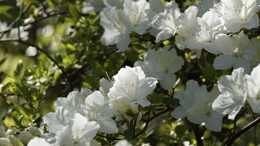Beautiful Azaleas in Bloom