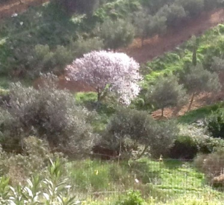 View from the bedroom window, almond tree in blossom in March.