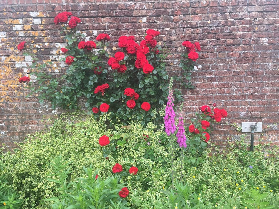Roses in the walled garden