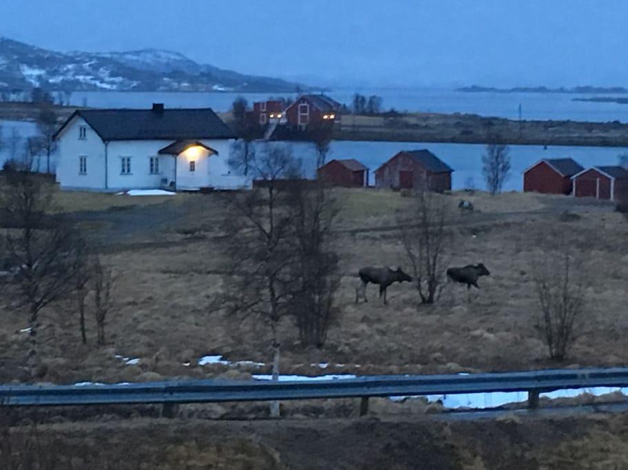 Elg og rein er gjengangere i området